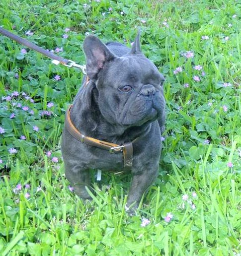 Solid Blue Shark French Bulldog