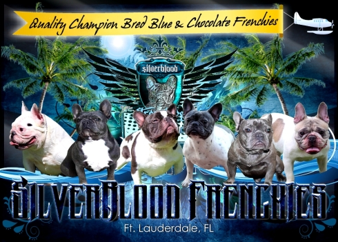 Exotic and Rare blue french bulldog puppies
