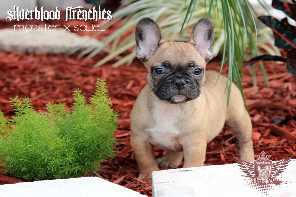 Quality Blue French Bulldog Puppies For Sale Blue French