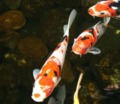 Blue French Bulldog Puppies | The Exotic World of Blue ... Japanese Koi Fish Swimming